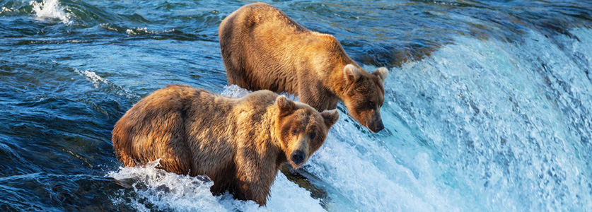Brown bears in the wild seen on the travel trip to Alaska.